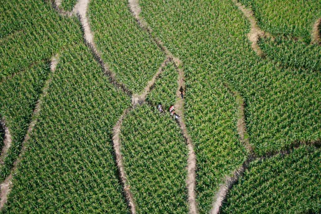 labirynt kukurydzy w Kurozwękach