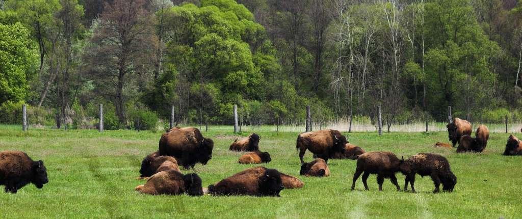 Hodowla bizonów amerykańskich w Kurozwękach