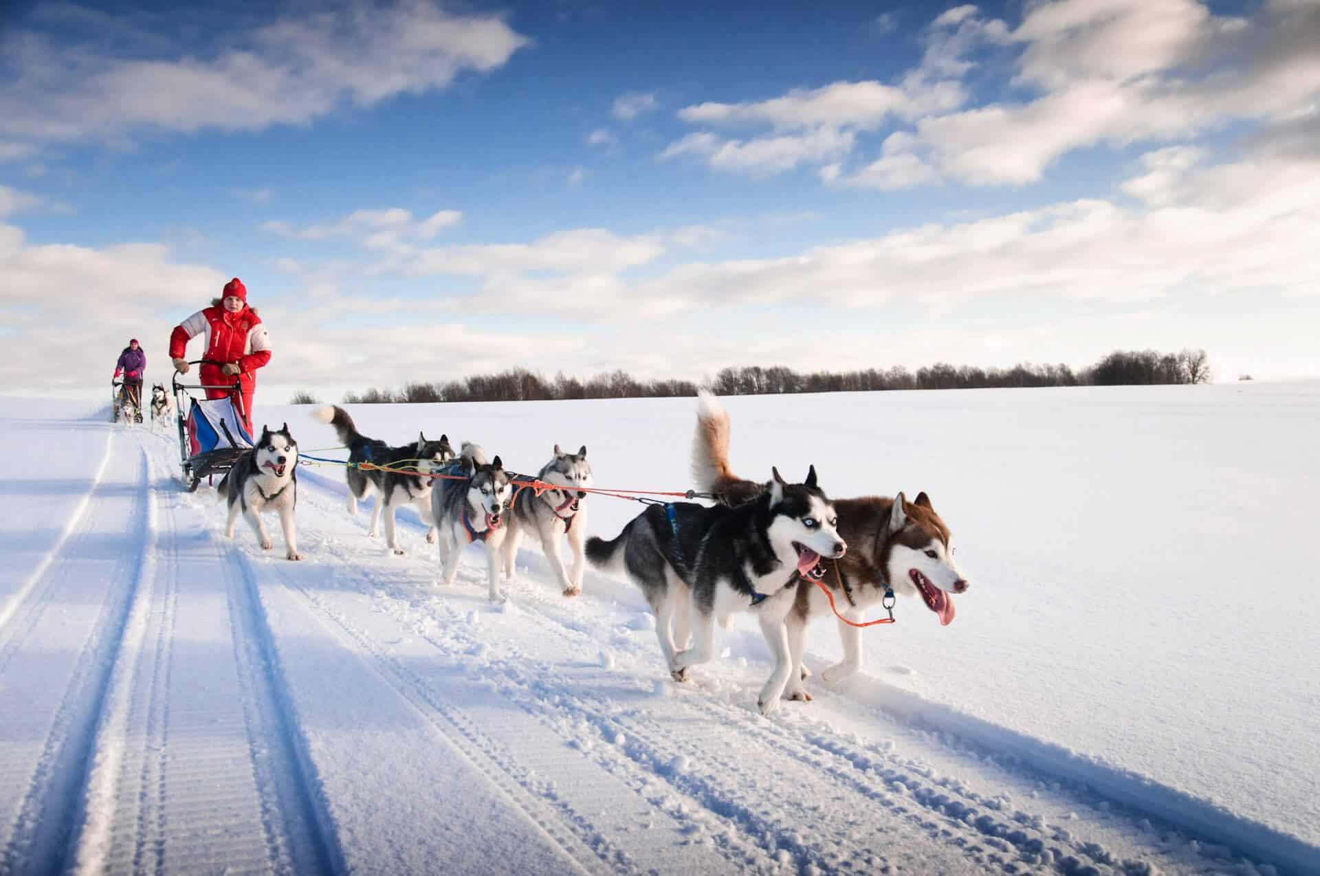 Wyścig psów husky